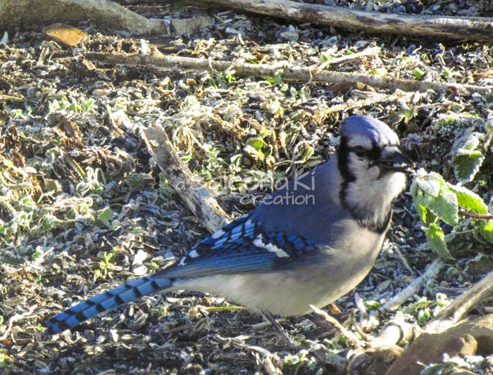 16--Blue Jay on Another Day