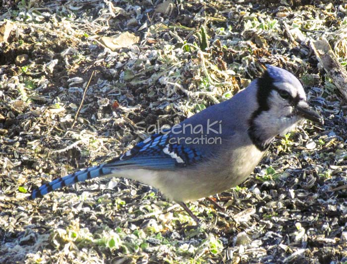 19-Blue Jay on Another Day