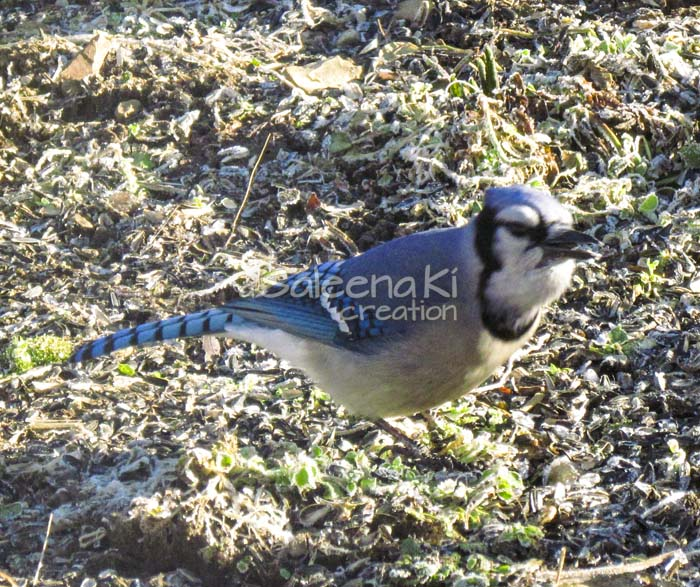 18-Blue Jay on Another Day