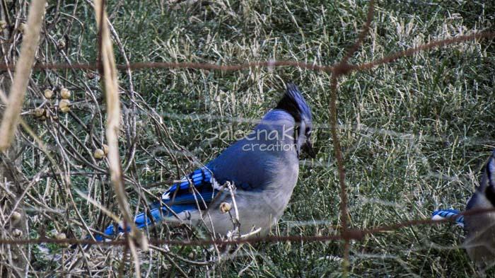 13-Blue Jay