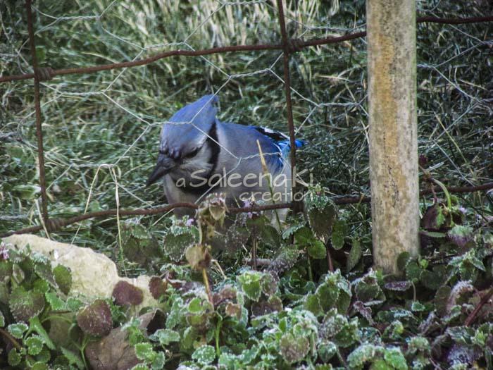 12-Blue Jay