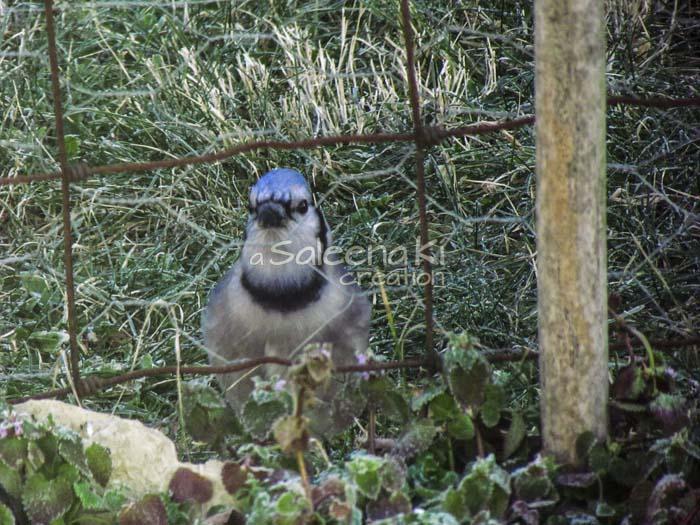 11-Blue Jay