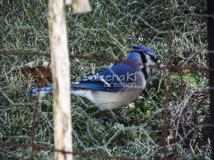 10-Blue Jay
