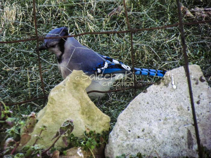 9-Blue Jay