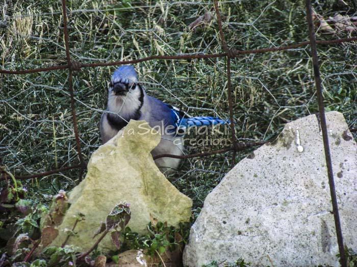 8-Blue Jay