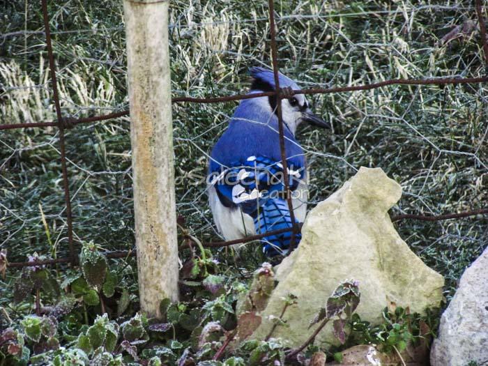 7-Blue Jay