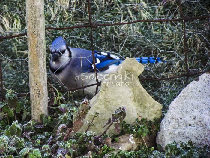 6-Blue Jay