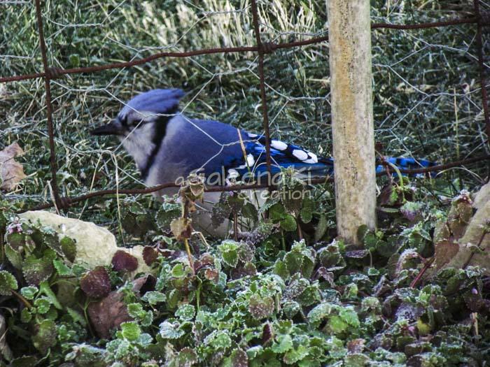 5-Blue Jay