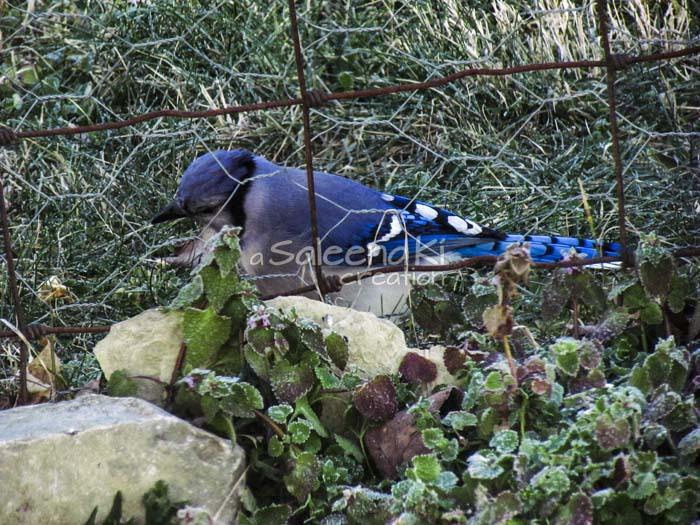 3-Blue Jay