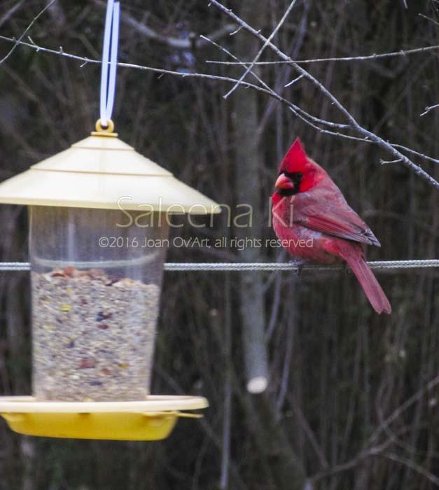 Cardinal Comtemplating...