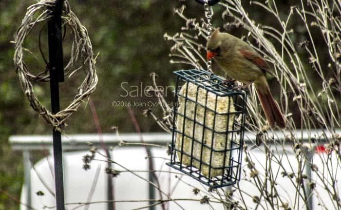 Female Cardinal & Suet Block