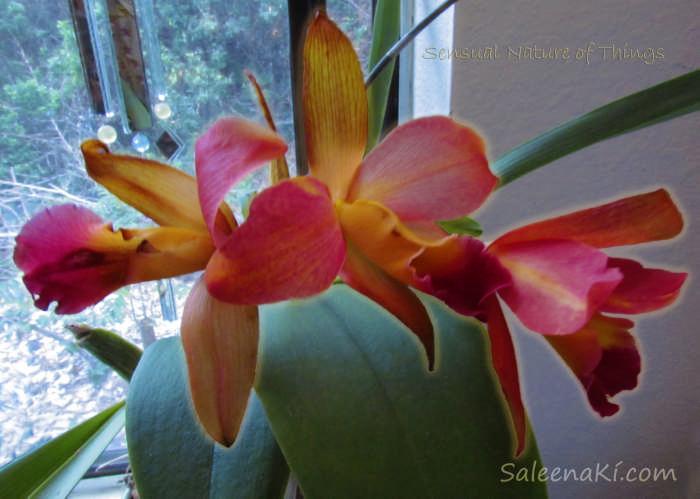 Orchid Aura