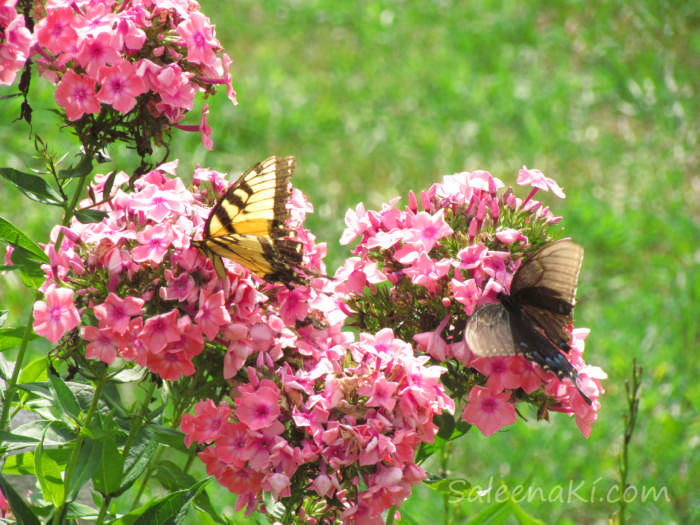 20160731-BFLY-Tiger &-Spicebush & Swallowtails on Pink Phlox-19