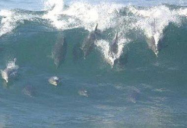dolfins-surfing.jpg