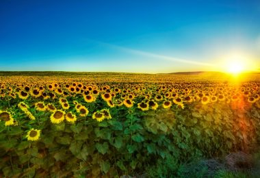 Nature-Sunflower-field1-1024x640.jpg